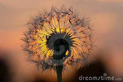 Dandelion fused with sunset