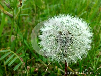 Dandelion in a green field Stock Photo