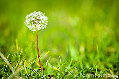 Dandelion in a green meadow