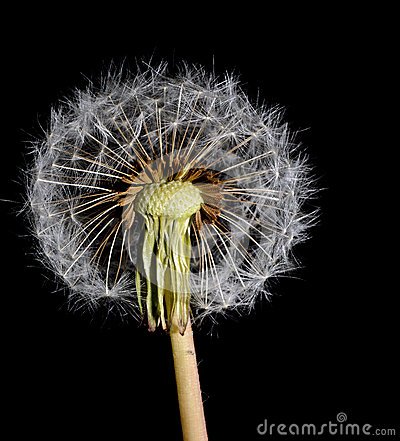 Dandelion with a half seed sphere