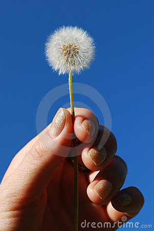 Dandelion in the hand