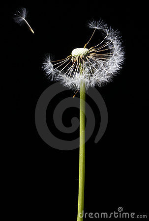 Free Dandelion In The Wind Royalty Free Stock Photos - 8532608