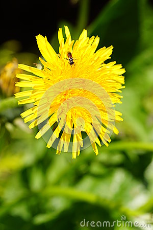 http://www.dreamstime.com/dandelion-with-insect-thumb24650058.jpg