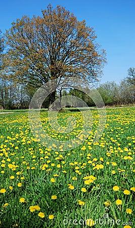 Free Dandelion Meadow Royalty Free Stock Photos - 2284018