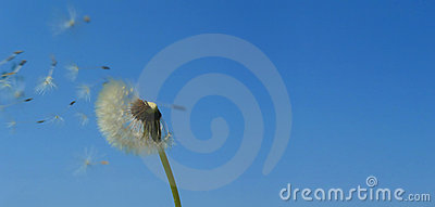 Dandelion over blue sky wide