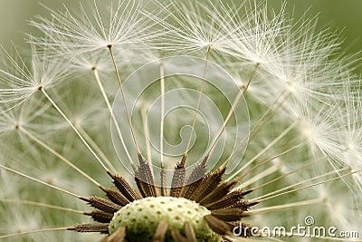 Dandelion parachute ball