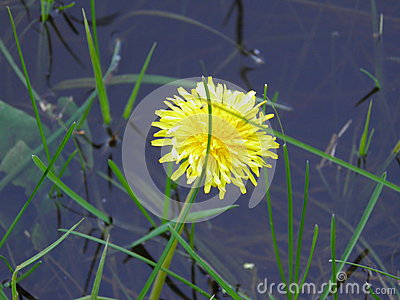 Dandelion by the river