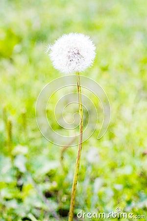 Dandelion s blow ball