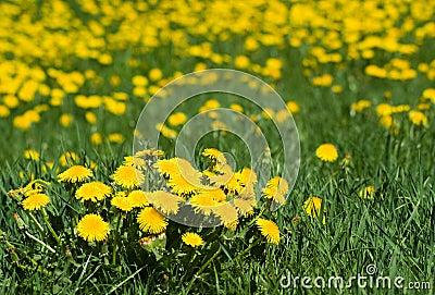 Dandelion s field