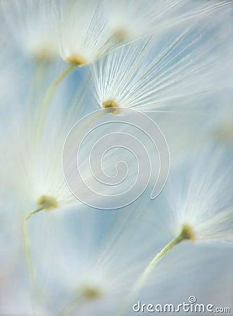 Dandelion s umbels