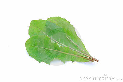 Dandelion salad leaves
