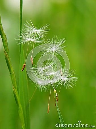 Free Dandelion Seed Stock Photography - 2494172