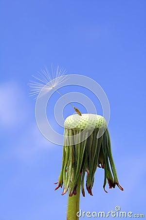 Dandelion seed: endurance