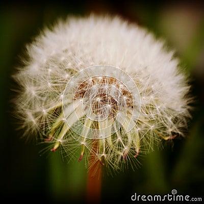 Free Dandelion Seed Head Stock Photos - 54131083
