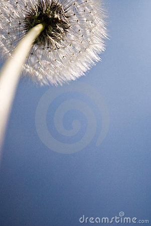 Free Dandelion Seed Head Stock Images - 7137004