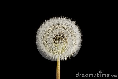 Dandelion Seed Head Clock Royalty Free Stock Photo - Image: 14318895