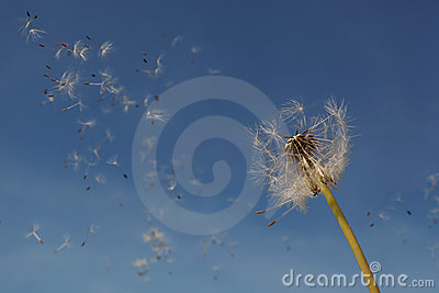 Dandelion seeds in the air.