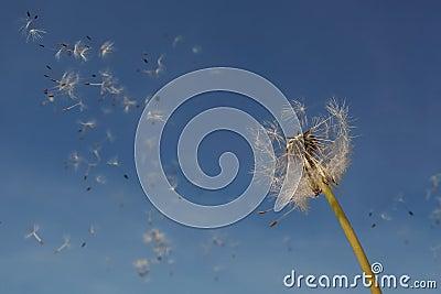 Dandelion seeds in the air.