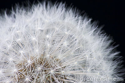 Dandelion with Seeds on Black Background