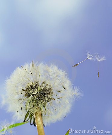 Dandelion seeds blown