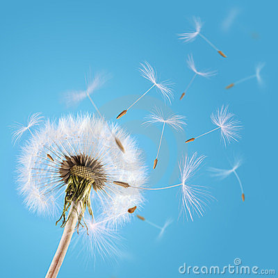 Free Dandelion Seeds Blown In The Sky Royalty Free Stock Photography - 24160547