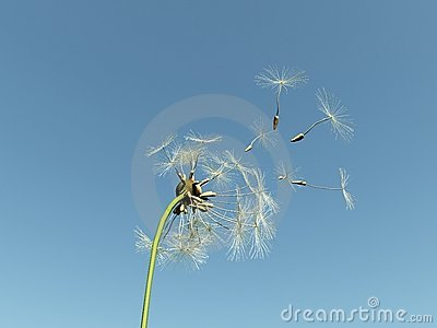 Dandelion with seeds flying away