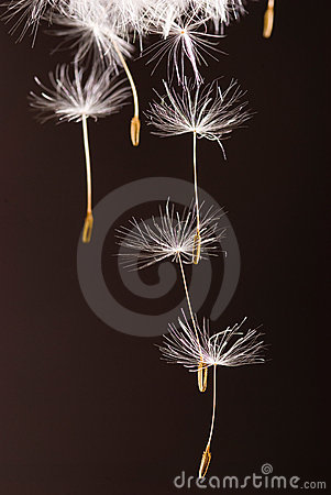 Dandelion seeds  flying away