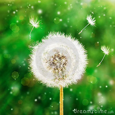 Free Dandelion Seeds In The Morning Sunlight Blowing Away Across A  Green Background Royalty Free Stock Photo - 63293895