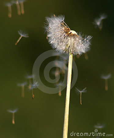 Free Dandelion Seeds In The Wind Royalty Free Stock Photos - 2901868