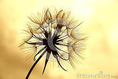 Dandelion in sepia