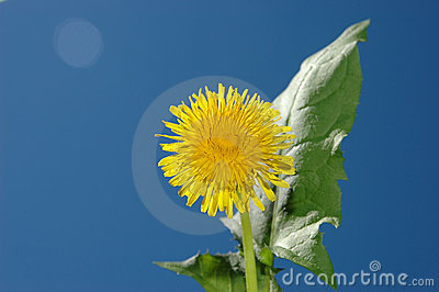 Dandelion on sky
