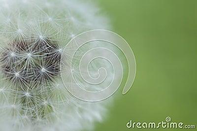 Dandelion softness