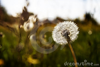 Dandelion in the sun