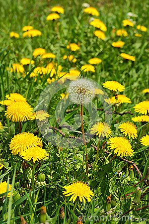 Free Dandelion Taraxacum Officinale, Flowers In The Meadow, Spring. Royalty Free Stock Photography - 84820907
