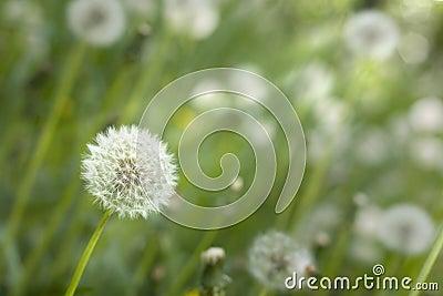 Dandelion under sun rays.