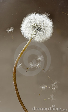 Free Dandelion With Fluff Royalty Free Stock Photo - 7917725