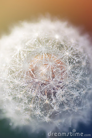 Free Dandelion With Water Droplets Closeup Royalty Free Stock Image - 57831476