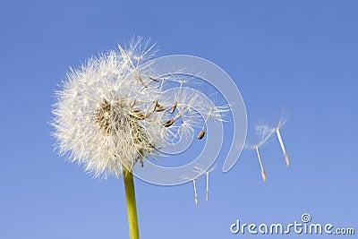 Dandelion ziarna