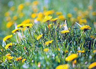 Dandelions Royalty Free Stock Photo - Image: 12888415