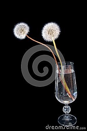 Free Dandelions Royalty Free Stock Photos - 3151318