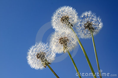 Dandelions on the blue sky
