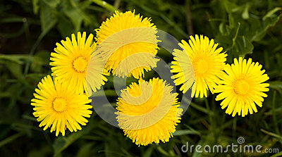 Dandelions (close up)