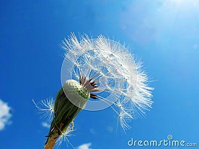 Dandelions faded