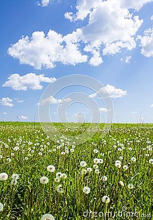 Dandelions in field