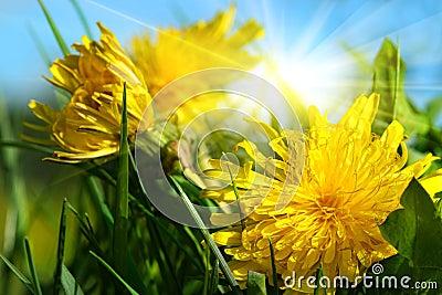 Dandelions in the grass