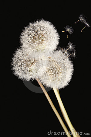 Free Dandelions Isolated On Black Background Royalty Free Stock Photography - 14928647