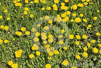 Dandelions on a meadow