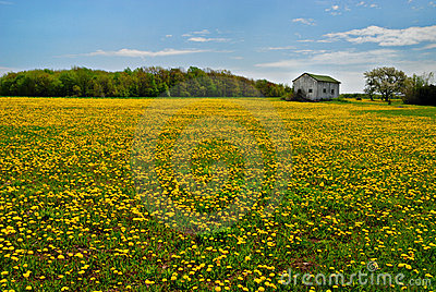 Dandelions in rural field