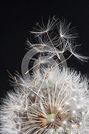 Dandelions taking flight