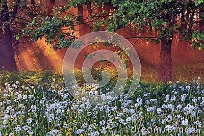 Dandelions in the woods